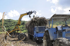 Harvesting cane. Workers in the cane field with a truck and heavy machinery, harvesting sugar cane in Jamaica. This field is close to Clarks Town in Trelawny and Royalty Free Stock Images