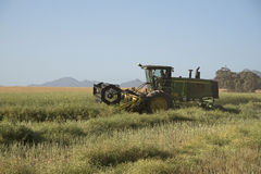 Harvesting Canola on a South African farm. Grain belt swather being used to harvest Canola in the Swartland S Africa Stock Photo