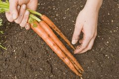 Harvesting Carrots Royalty Free Stock Image