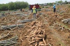 Harvesting cassava. Some farmers harvest the cassava in the village Kayen, Sukolilo, Pati, Central Java, Indonesia, November 19, 2015, Cassava eleven-month-old stock images