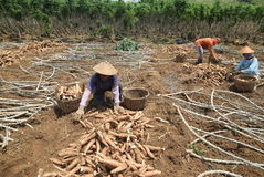 Harvesting cassava Royalty Free Stock Images