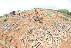 Harvesting cassava Stock Images