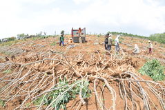 Harvesting cassava. Some farmers harvest the cassava in the village Kayen, Sukolilo, Pati, Central Java, Indonesia, November 19, 2015, Cassava eleven-month-old stock photography