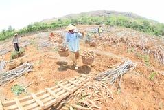 Harvesting cassava. Some farmers harvest the cassava in the village Kayen, Sukolilo, Pati, Central Java, Indonesia, November 19, 2015, Cassava eleven-month-old royalty free stock image