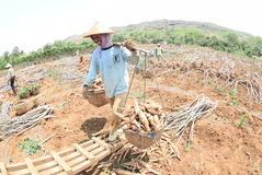 Harvesting cassava Stock Photos