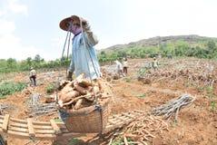 Harvesting cassava. Some farmers harvest the cassava in the village Kayen, Sukolilo, Pati, Central Java, Indonesia, November 19, 2015, Cassava eleven-month-old royalty free stock photos