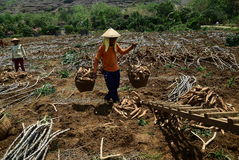 Harvesting cassava. Some farmers harvest the cassava in the village Kayen, Sukolilo, Pati, Central Java, Indonesia, November 19, 2015, Cassava eleven-month-old stock photo