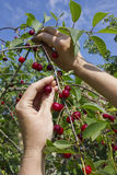 Harvesting of cherries from a tree in a garden. Hands of the rural worker closeup.  Harvesting of red sweet  ripe cherries from a tree in a garden. Sunny summer Royalty Free Stock Image