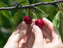 Harvesting cherry. Female hands close-up harvesting red cherry from tree Stock Images