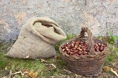 Harvesting chestnuts Stock Photos
