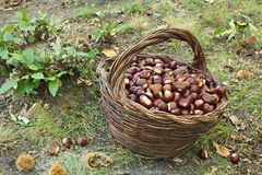 Harvesting chestnuts Royalty Free Stock Photos