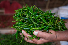 Harvesting chili Stock Image