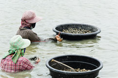Harvesting cockles from farming pond Royalty Free Stock Photos