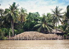 Harvesting of coconuts Royalty Free Stock Photo