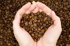 Harvesting Coffee Beans Stock Photography