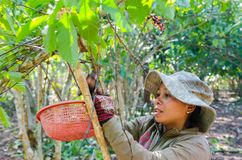 Harvesting coffee berries Stock Images