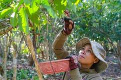 Harvesting coffee berries Stock Photo