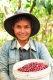 Harvesting coffee berries Stock Image