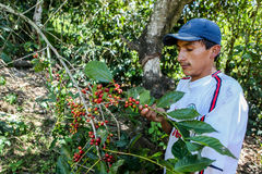 Harvesting of coffee cherries Royalty Free Stock Images