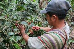 Harvesting of coffee cherries Stock Photo