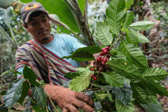Harvesting of coffee cherries Stock Images