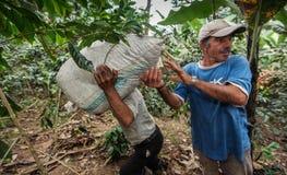 Harvesting of coffee cherries Royalty Free Stock Photo
