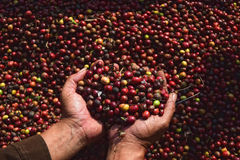 Free Harvesting COFFEE IN INDONESIA Royalty Free Stock Image - 58517216