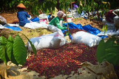 Free Harvesting COFFEE IN INDONESIA Stock Images - 58517264
