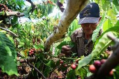 Harvesting COFFEE IN INDONESIA. Workers harvest of robusta coffee plantation PTPN Region Bawen, Semarang regency, Central Java, Thursday, August 27, 2015, a Stock Image