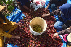 Harvesting COFFEE IN INDONESIA. Workers harvest of robusta coffee plantation PTPN Region Bawen, Semarang regency, Central Java, Thursday, August 27, 2015, a Royalty Free Stock Images