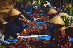 Harvesting COFFEE IN INDONESIA. Workers harvest of robusta coffee plantation PTPN Region Bawen, Semarang regency, Central Java, Thursday, August 27, 2015, a Royalty Free Stock Image
