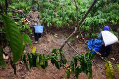 Harvesting COFFEE IN INDONESIA. Workers harvest of robusta coffee plantation PTPN Region Bawen, Semarang regency, Central Java, Thursday, August 27, 2015, a Stock Photography