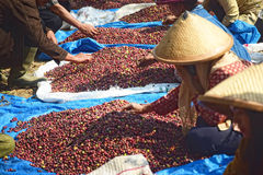 Harvesting COFFEE IN INDONESIA. Workers harvest of robusta coffee plantation PTPN Region Bawen, Semarang regency, Central Java, Thursday, August 27, 2015, a Stock Images