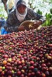 Harvesting COFFEE IN INDONESIA. Workers harvest of robusta coffee plantation PTPN Region Bawen, Semarang regency, Central Java, Thursday, August 27, 2015, a Stock Photos