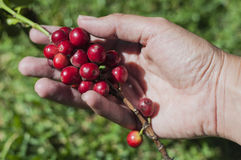 Harvesting coffee Stock Photos