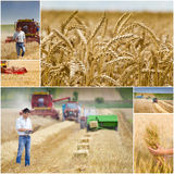 Harvesting. Collage of wheat harvesting process in field Royalty Free Stock Images