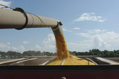 Harvesting Corn. View of corn being transferred from a combine to a hopper traveling alongside it, as viewed from the combine Royalty Free Stock Images