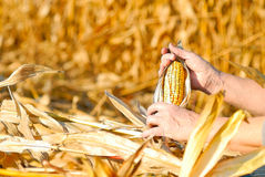 Harvesting a corn Stock Photos