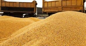 Harvesting corn , car Stock Photos