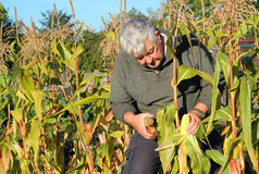 Harvesting corn on the cob. An elderly man harvesting corn on the cob  that is ready to eat from a corn field Stock Photo