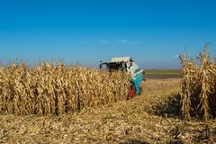 Harvesting corn by a combine on a field against a clean, blue sky.  royalty free stock images