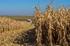 Harvesting corn by a combine on a field against a clean, blue sky.  royalty free stock image
