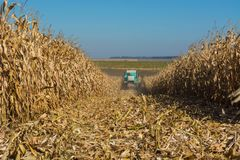 Harvesting corn by a combine on a field against a clean, blue sky.  stock photography