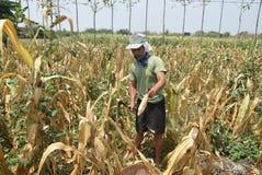Harvesting corn Stock Photos