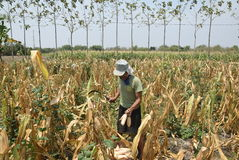 Harvesting corn Royalty Free Stock Image