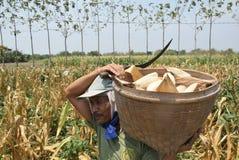 Harvesting corn Stock Photography