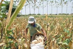 Harvesting corn Royalty Free Stock Photography