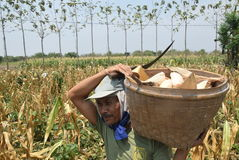 Harvesting corn Royalty Free Stock Photo