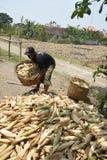 Harvesting corn Stock Image