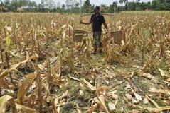 Harvesting corn Stock Images